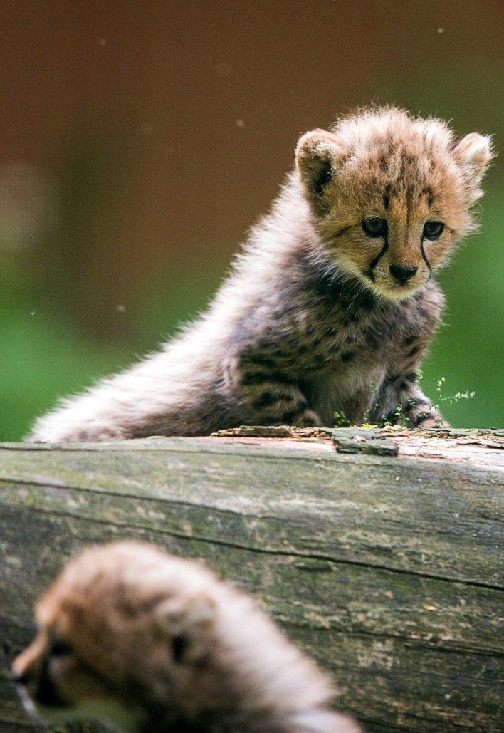 Cheetah looking