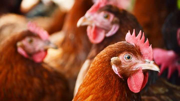 Genetically Modified Chickens Approved By The Fda To Treat