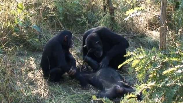 Never-Before-Seen Behavior Of Chimp Brushing Dead Son's Teeth