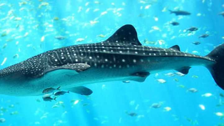 Image result for whale shark aerial view