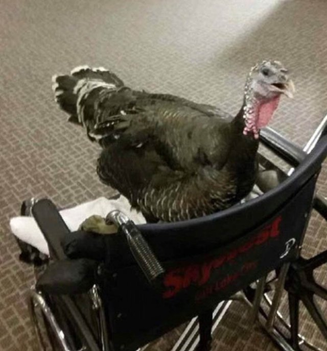 Turkey in a wheelchair