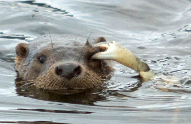 Otter Eat Does What Sea