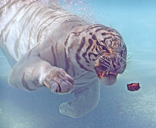 White Bengal Tiger, feeding time, tiger diving for meat,