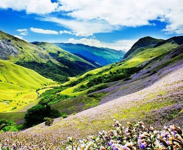 Watch the Neelakurinji Bloom in Munnar - Eravikulam National Park is one the most frequented tourist attractions in Kerala because of Neelakurinji, which bloom once in 12 years and this rare view is a fascinating experience.