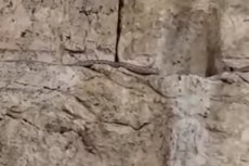 snake comes from western wall