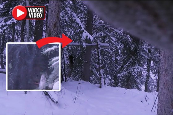 Bigfoot spotted in Canadian forest