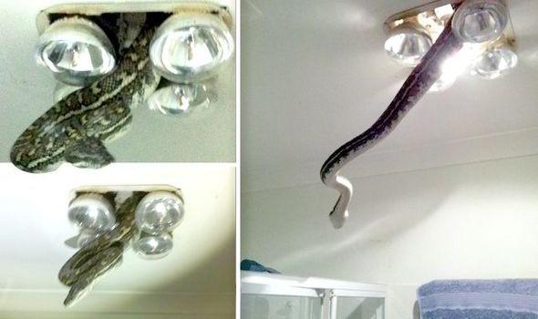 Snake in Queensland Australia bathroom