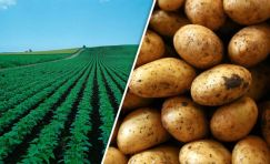 Image result for potato crop