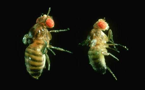 two fruit flies