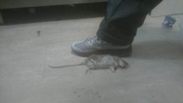 A foot-long dead rat