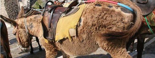 Image result for santorini donkey cruelty