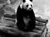WWF-panda-Chi Chi