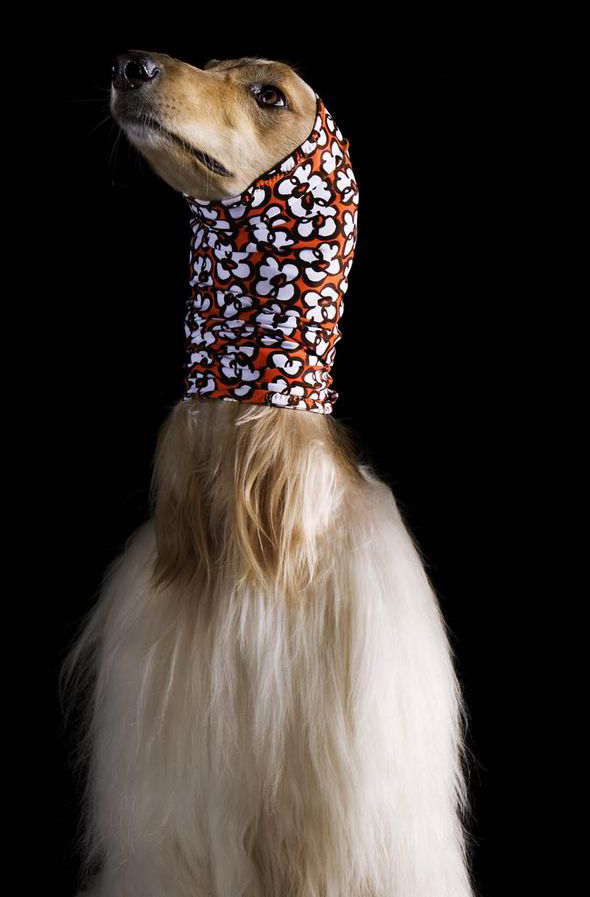 Afghan Hounds Pose In Chic Headscarf Collection Style