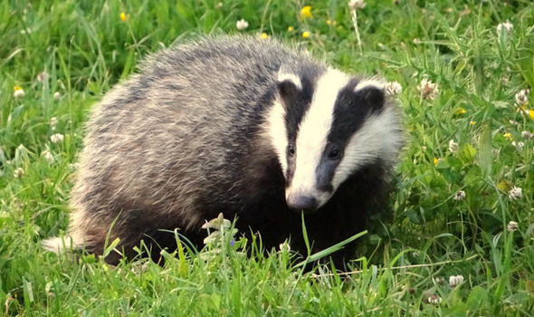 Planned Cull Of Badgers Is At Risk As Vet Organisation Get