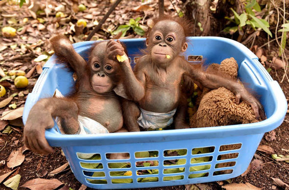 Orangutan babies in a basket