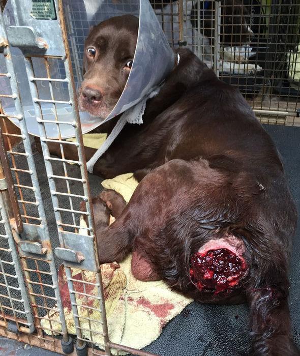 Worlds Saddest Dog Labrador Abandoned With Sickening