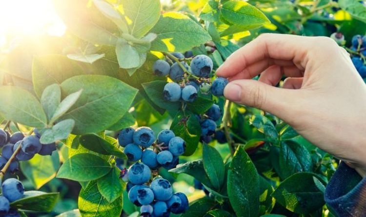 Blueberry growing guide: When and where should I plant blueberries?