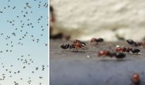 Flying ants SWARM: Why are there so many flying ants right now? 1154641 1
