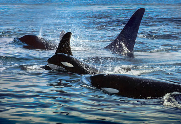 Killer whale pod  Seattle: A cool city for all seasons | Short & City breaks | Travel seattle us america city break 901818