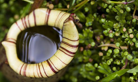 A pitcher plant