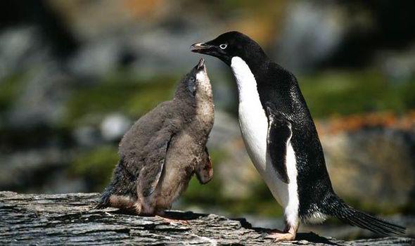 Birdman On Adelie Penguins Like Monty In John Lewis