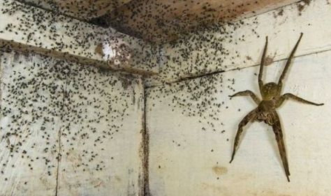 Horror as man spots giant hand-sized spider under bed breeding with hundreds of babies