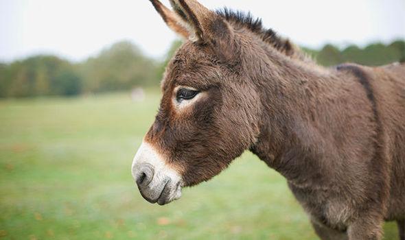 Rabies donkey