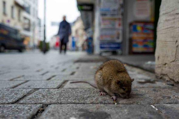A rat on a city street