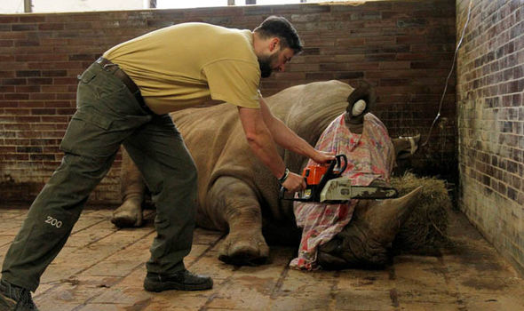 A rhino is dehorned by a zoo vet