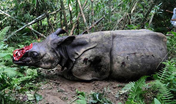A dehorned rhino