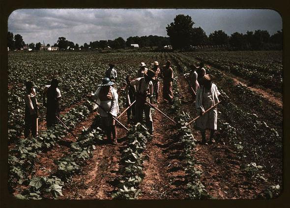 Labourers picking cotton