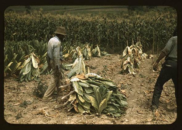 Labourers cutting Burley tobacco
