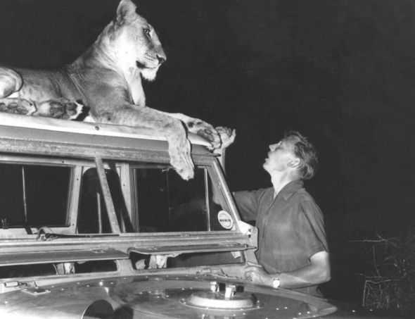David met Elsa, one of the lions cared for by Joy and George Adamson in 1961