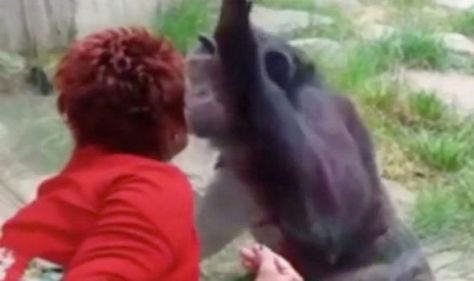 Woman banned from zoo after four year 'affair' with chimp- 'He loves me'