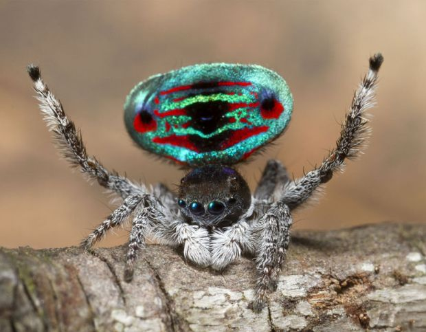 A photograph of a colourful peacock spider.