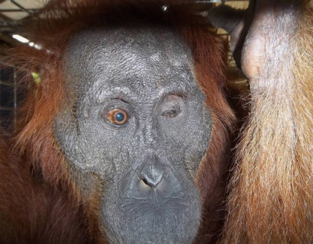 Handout photo issued by the Orangutan Foundation of Aan, a critically-endangered orangutan who was blinded after being shot more than 100 times with an air rifle. Aan is to undergo an operation that could restore her sight.