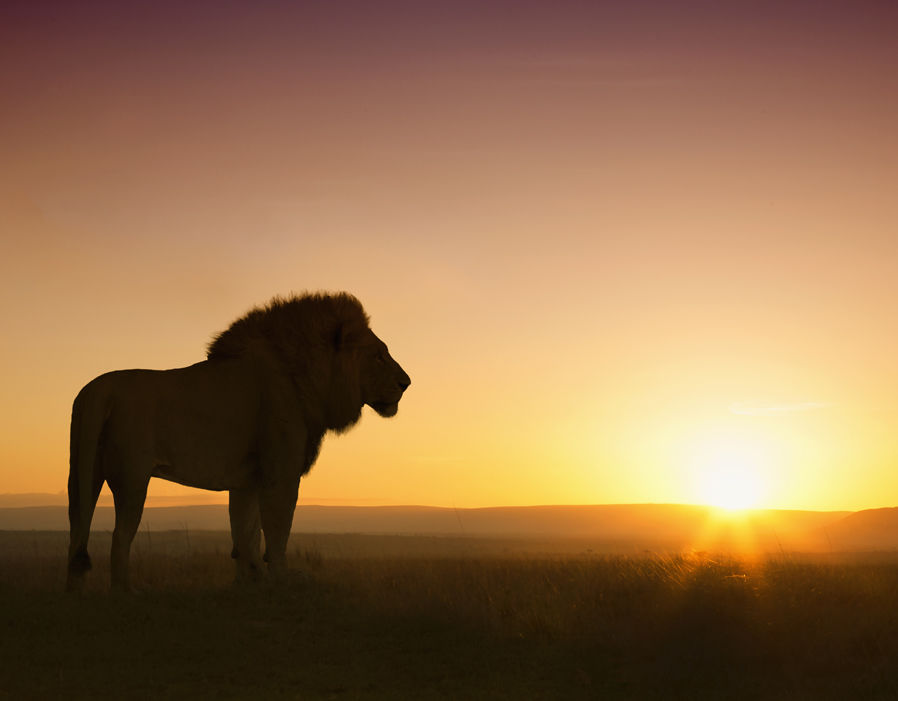 Lion Shadow Facts About Lions Pictures Pics