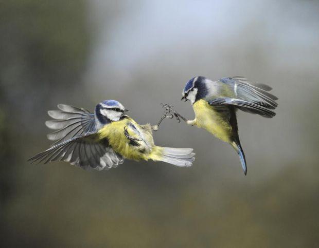 Blue Tit - Cyanistes caeruleus