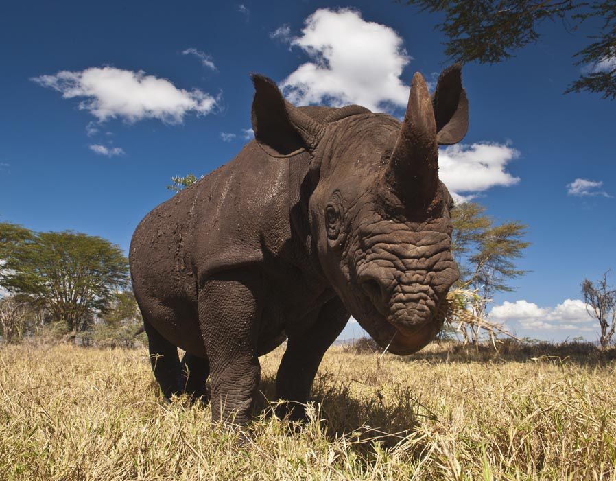 Rhino's are herbivores and rely on lots of vegitation to sustain their size