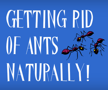 How To Get Rid Of Tiny Black Ants In The House Instructables