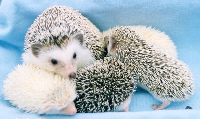 Image result for group of hedgehogs