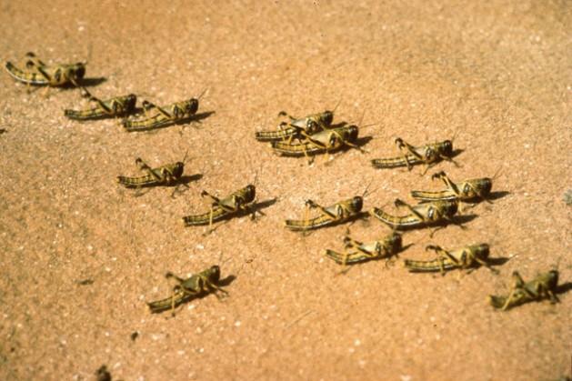 Juvenile desert locust hoppers. Photo: FAO/G.Tortoli