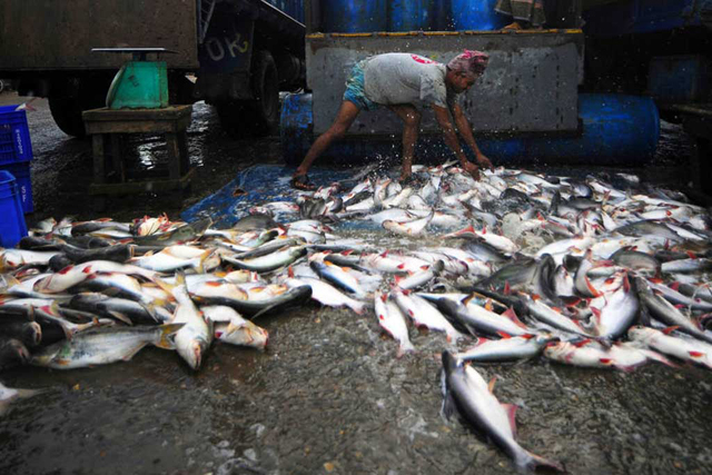A fisheries worker unloading the morning's catch. Credit: FAO