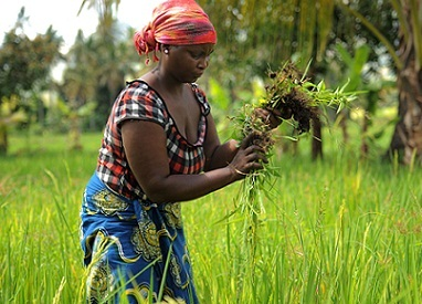 Climate-smart agriculture (CSA) is an approach that helps to guide actions needed to transform and reorient agricultural systems to effectively support development and ensure food security in a changing climate. Photo: FAO