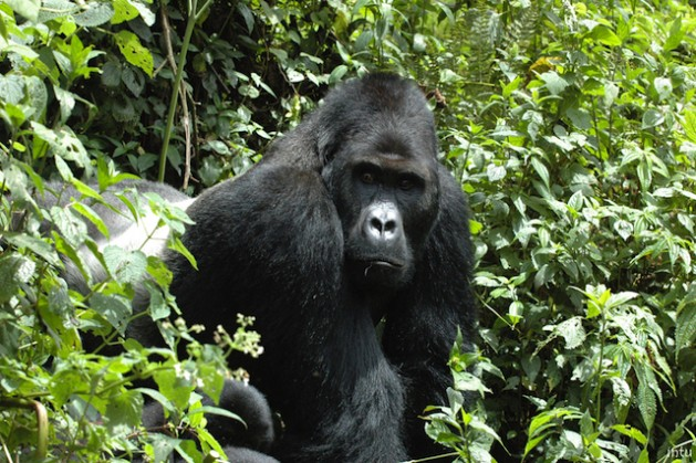 Four out of six great ape species are now listed as Critically Endangered. Photo courtesy of IUCN