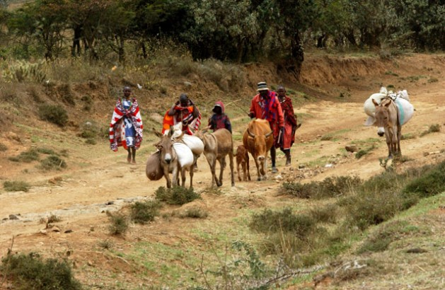 Kenya - Maasai pastoralists, who participate in the Farmer Field School, taking their cattle to a local livestock market. ©FAO/Vitale