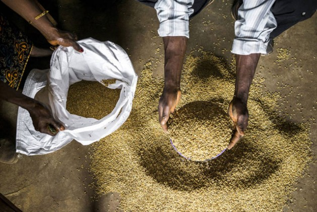 Farmers inspect rice seeds in Sierra Leone. Photo: FAO