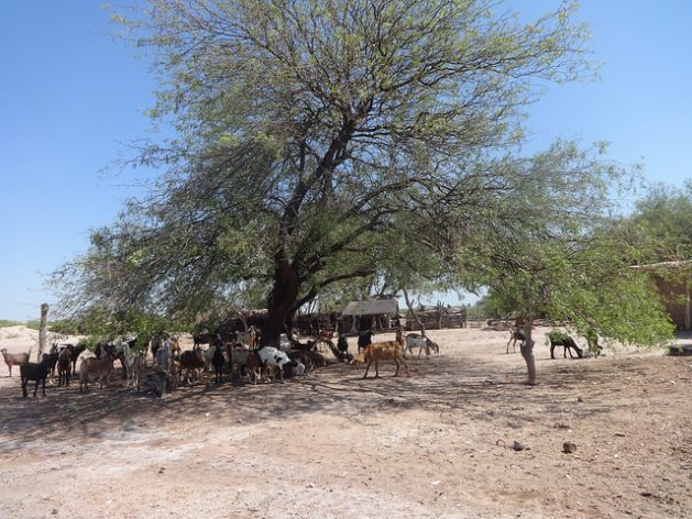 Livestock seek shade on a small farm in the arid centre of the northern Argentine province of Santiago del Estero, where men are forced to migrate to cities or to seek seasonal work in more fertile regions, fleeing from drought and poverty. Credit: Fabiana Frayssinet/IPS