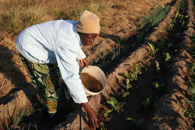 Farmer Margaret Gauti Mpofu adds manure to her vegetable crops in a field on the outskirts of Bulawayo, Zimbabwe. Credit: Busani Bafana/IPS