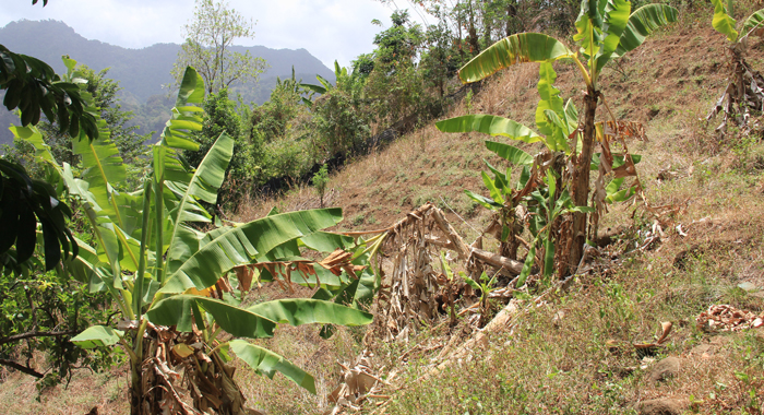 Caribbean Agriculture Has Been Affected By Extended Droughts And Unseasonal Rains. (Iwn Photo)